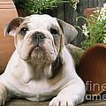 Bulldog Puppy With Flowerpots by John Daniels