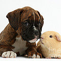 Bulldog Puppy With Yellow Guinea Pig by Mark Taylor