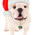 Bulldog Santa by Jt PhotoDesign
