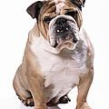 Bulldog Sitting by John Daniels