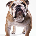 Bulldog Standing, Facing Camera by John Daniels