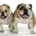 Bulldogs, Male And Female by John Daniels