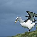 Bullers Albatross Spreading Wings by Tui De Roy