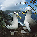 Bullers Albatrosses On Storm-lashed by Tui De Roy