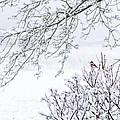 Bullfinch On A Snowy Branch by Aldona Pivoriene