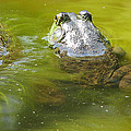 Bullfrog Heading Out by Natalie Rotman Cote