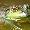 Bullfrog Profile View by Natalie Rotman Cote
