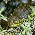 Bullfrog by Stephen Whalen