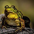 Bullfrog Watching by Bob Orsillo