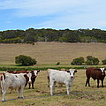 Bulls And Cow by Cheryl Miller