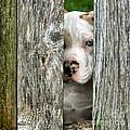 Bull's Eye - English Bulldog by Nikolyn McDonald