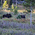 Bulls In The Meadow by Shane Bechler