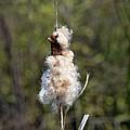 Bulrush Seed Head Disintegrating by Rod Johnson