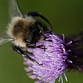 Bumble 1 by WB Johnston