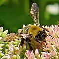 Bumble Bee 104 by Patsy Pratt