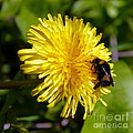Bumble Bee And Dandelion by John Chatterley