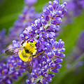 Bumble Bee and Lavender by Inge Johnsson