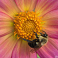 Bumble Bee Dahlia by Joan Wallner