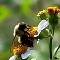 Bumble Bee by Debra Forand