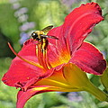 Bumble Bee In Day Lily 109 by Patsy Pratt