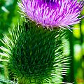 Bumble Bee On Bull Thistle Plant  by Optical Playground By MP Ray