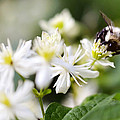 Bumble Bee On Clematis by Ginger Wagner
