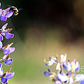 Bumble Bee On Lupine by Rich Collins