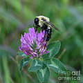 Bumble Bee On Red Clover  by Neal Eslinger
