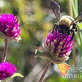 Bumble Bee  by Scott Hervieux