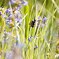 Bumblebee On Blue Wildflowers by Cindy Singleton