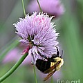 Bumblebee On Clover by Barbara McMahon