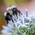Bumblebee On Thistle Blossom by Marty Saccone
