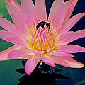 Bumblebee On Water Lily by Randall Weidner