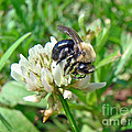Bumblebee On White Clover by Mother Nature