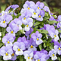Bunch Of Pansy Flowers by Jit Lim