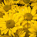 Bunch Of Yellow Daisies by Jill Mitchell