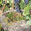 Bunches Of Red Wine Grapes Growing On Vine by Jit Lim