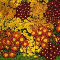 Bunches Of Yellow Copper Orange Red Maroon - Hot Autumn Abundance by Georgia Mizuleva