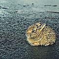 Bunny Foo Foo