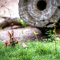 Bunny In The Grass by Tim Stanley