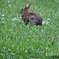 Bunny  by Joseph Baril