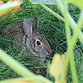 Bunny Rabbit by Amanda Stadther