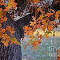 Bur Oak Tree In Autumn by Janette Boyd