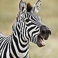 Burchells Zebra Equus Quagga Burchellii by Panoramic Images