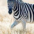 Burchells Zebra Equus Quagga by Panoramic Images