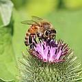 Burdock And Honeybee by Lucinda VanVleck