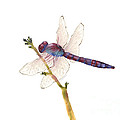 Burgundy Dragonfly by Amy Kirkpatrick