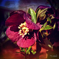 Burgundy Hellebore Flower by Mary Machare