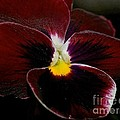 Burgundy Pansy  by Lisa  Telquist