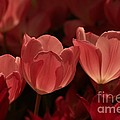 Burgundy Tulips by Kathleen Struckle